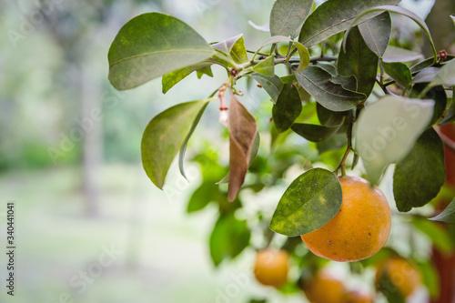 Close-up Of Fruit Growing On Tree Fototapet