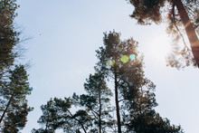 Group Of Pines In The Forest. Pine Trees On Blue Sky Background.