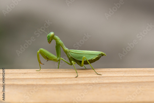 Fotografie, Tablou Praying mantis on a wood rail with blurred gray and white background