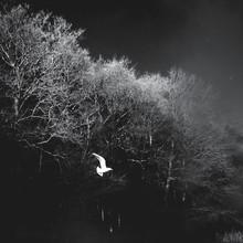 White Bird Flying Against Bare Trees