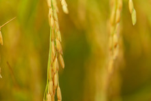 Golden Grain, Close-up Rice Th...