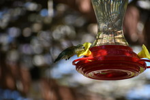 Hummingbird Feeding On Feeder