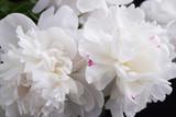 White peonies closeup