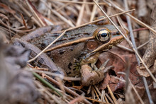 A Southern Leopard Frog With B...