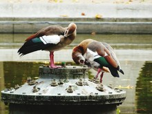 Egyptian Geese By Lake On Metal