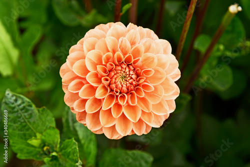 Leinwand Poster Orange Dahlia flower or Decorative dahlias with green leaf