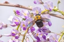 Carpenter Bee On Japanese Wist...