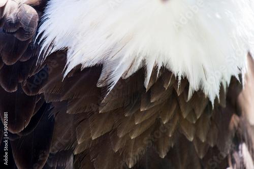 Valokuva Extreme Close Up The Feathers Of A Bald Eagle