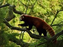Red Panda Walking On Branch