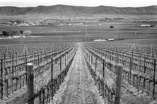 Black and White Grape Vines Rows Winter Vineyards Red Mountain Benton City Washington