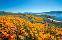 Golden Poppies Spring Time Carpet In Diamond Valley Lake, California