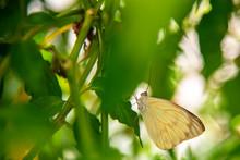 Specimen Of Yellow Butterfly (...