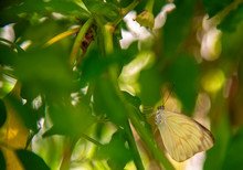 Specimen Of Yellow Butterfly (Phoebis Philea Philea) Perched On A Pepper Plant