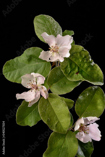 Fleurs de Cognassier sur fond noir Fotobehang