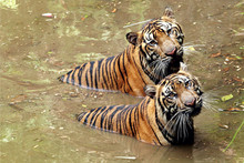 High Angle Portrait View Of Tigers In Pond