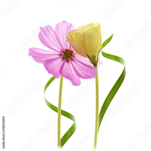 Obraz na plátně margarita y tulipán en un fondo blanco aislado