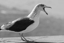 Side View Of Angry Seagull Squ...