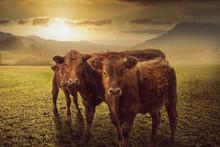 Drei Kühe Stehend Auf Der Wie...