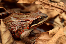The Siberian Frog Or Amur Frog...