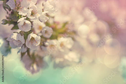 Fototapety, obrazy: Flowers of the cherry blossoms on a spring day