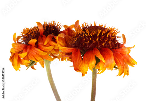 Photo Beautiful bright red flower Gaillardia coahuilensis, Family Asteraceae
