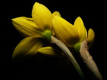 Close-up Of Yellow Daffodils A...