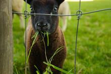 Black Baby Lamb Sheep Eating S...