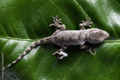 Valokuva Piccolo geco sopra foglia durante la muta