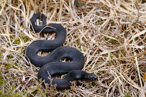 black Common adder / schwarze Kreuzotter (Vipera berus) Canvas Print