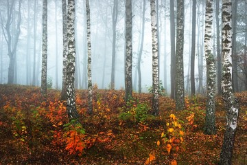 Fototapeta Drzewa Panoramic view of the misty birch forest on a cloudy autumn day. Tree trunks in a morning fog. Colorful yellow, orange and red leaves on the ground. Fairy landscape. Finland
