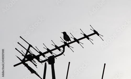 Photo silhouette of starling perched on top of tv antenna protecting a nest