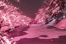 弘前公園【冬に咲くさくら】