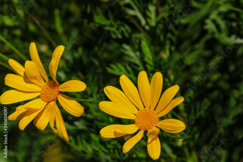 Vászonkép Japanese or Mexican sunflower in bright yellow color with dark background