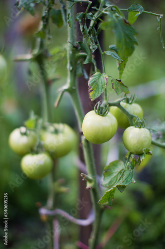 Group of green tomatoes growing in greenhouse Wallpaper Mural