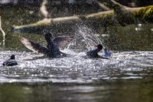 Coots Splashing Water In Lake