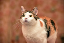 Beautiful Tricolored Cat Portr...