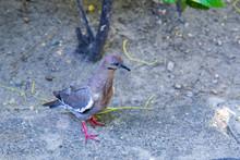 Turtledove On The Ground, Walking