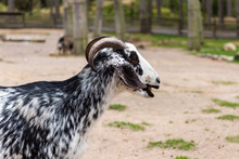The Domestic Goat Or Simply Goat (Capra Aegagrus Hircus) Is A Subspecies Of C. Aegagrus Domesticated From The Wild Goat Of Southwest Asia And Eastern Europe.