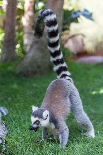 Naklejka premium Ringtail Lemur On Grassy Field At Zoo