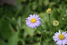 薄紫の小さい花