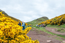 Close Up Of Ulex Europaeus Know As Gorse With Blurred People In The Background, Holyrood Park, Edinburgh, Scotlant. Concept: Scottish Landscapes, Scottish Nature