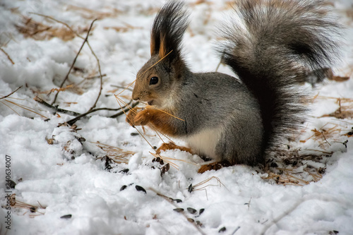 Valokuva Close-up Of Squirrel On Snowfield