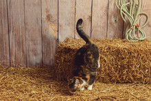 Cat Jumping Off Hay Bale In A Barn
