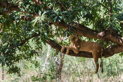 Photo Lioness on a branch