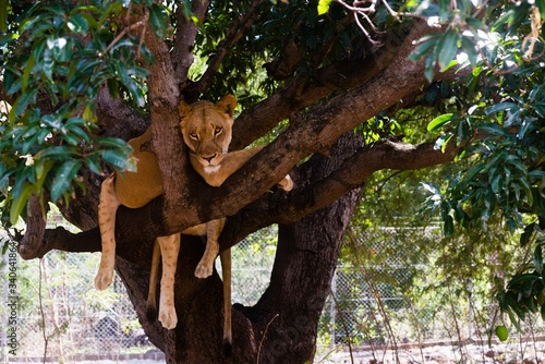 Lioness on a branch Canvas Print