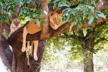 Lioness On A Branch