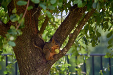 Squirrel On Tree With Green Peach