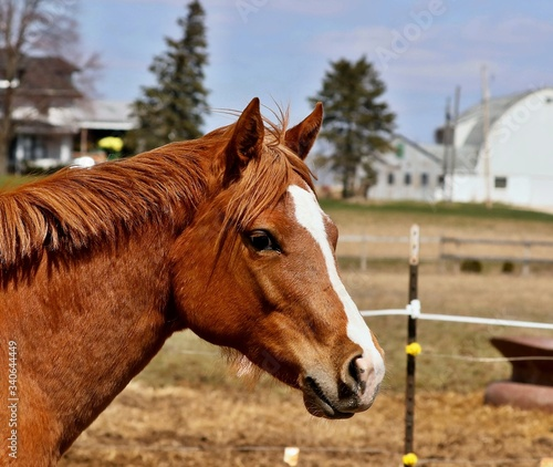 Horse. Young one and half year old stallion in Wisconsin countryside