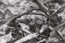 Old Puffball Mushrooms (Lycoperdon Sp.)