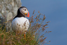 Puffin Perching On Plant Against Clear Blue Sky